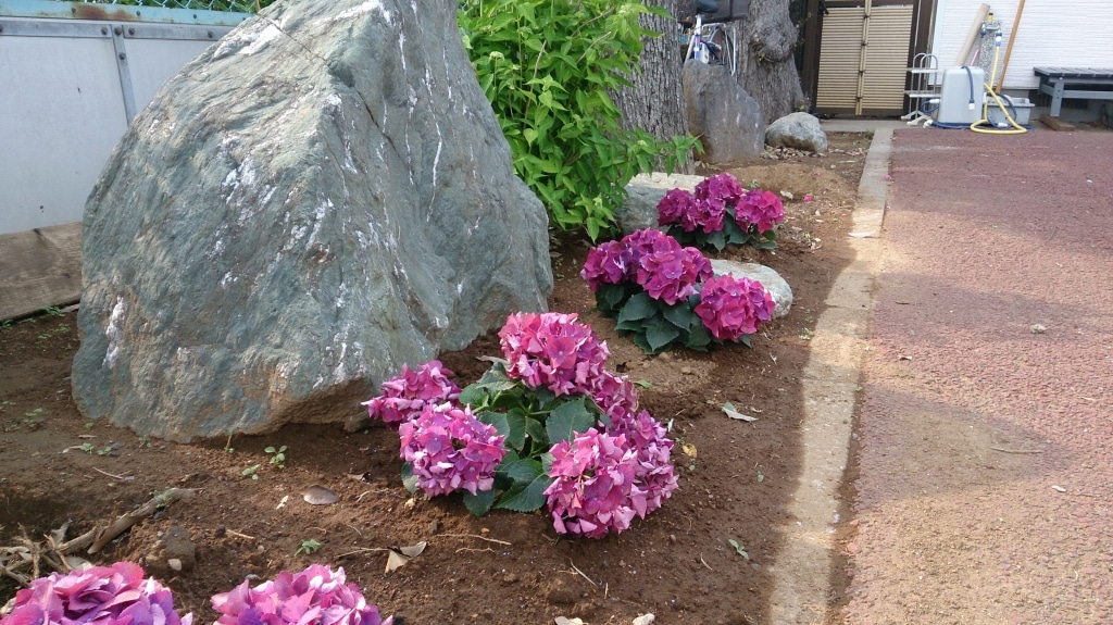 紫陽花(平成26年5月25日撮影)