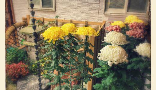 大菊の寄贈