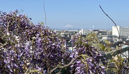 富士山と藤の花
