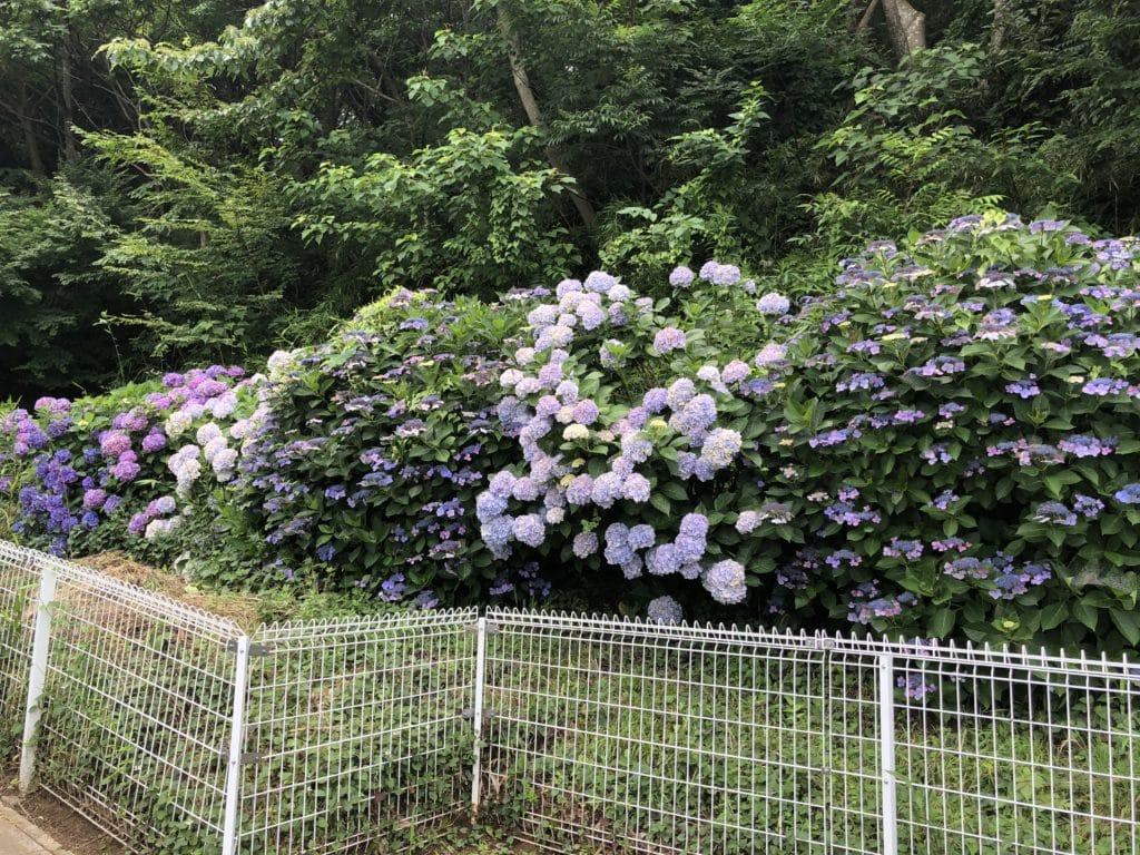 松戸中央霊園 紫陽花